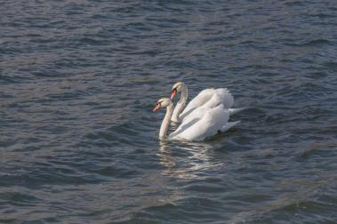 pair-of-swans